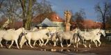 Zimní království staroskladrubských koní 2015